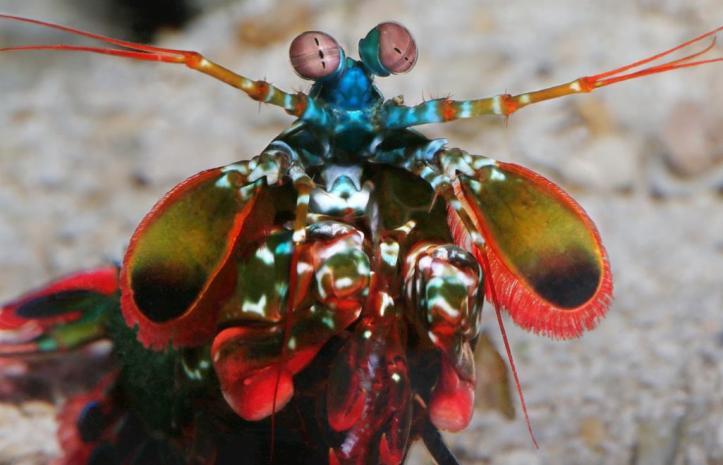 garida-mantis