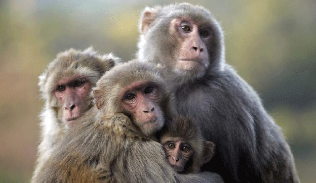 Ημέρα της Μαϊμούς