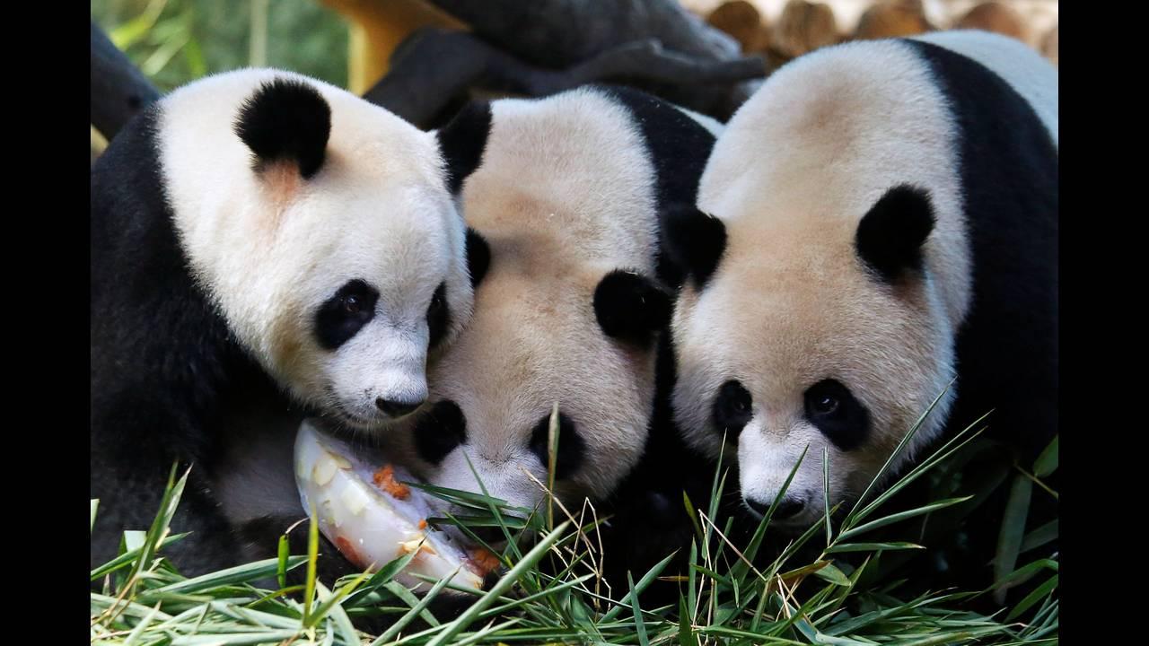 Το πάρτι γενεθλίων των γιγαντιαίων τρίδυμωνpanda