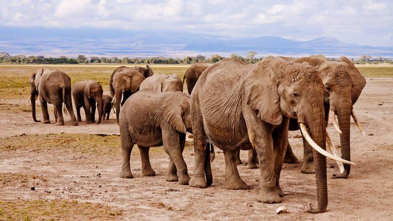 Νεκροί σχεδόν 90 ελέφαντες από λαθροκυνηγούς στηνΜποτσουάνα