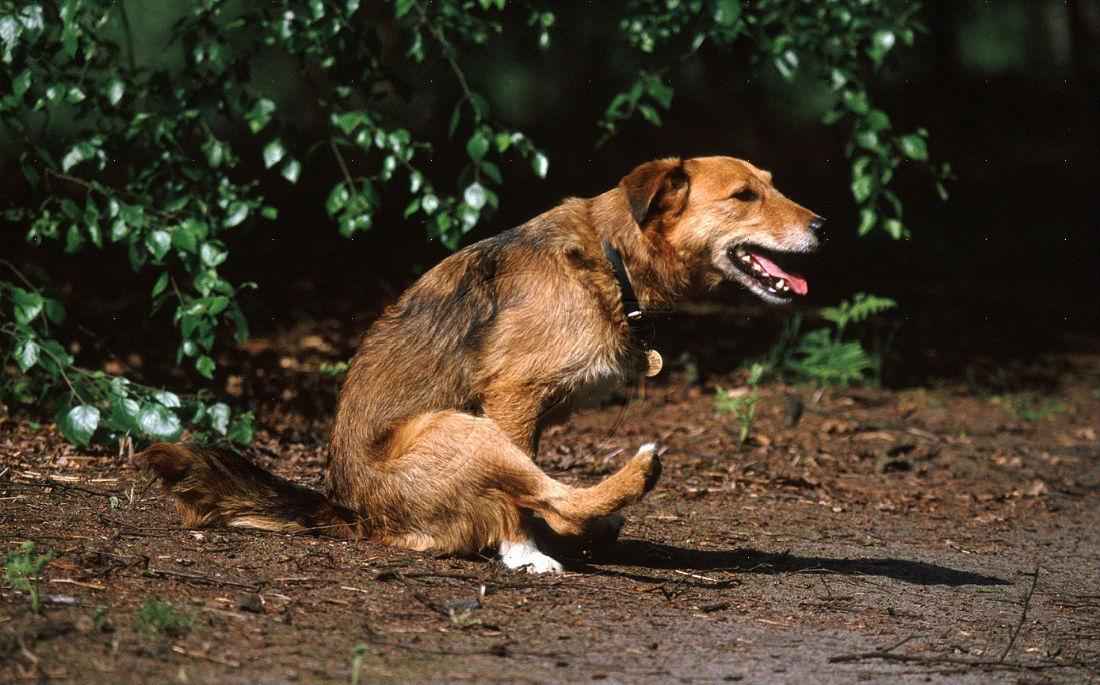 Γιατί ο σκύλος σου σέρνει τον πισινό του στοέδαφος;