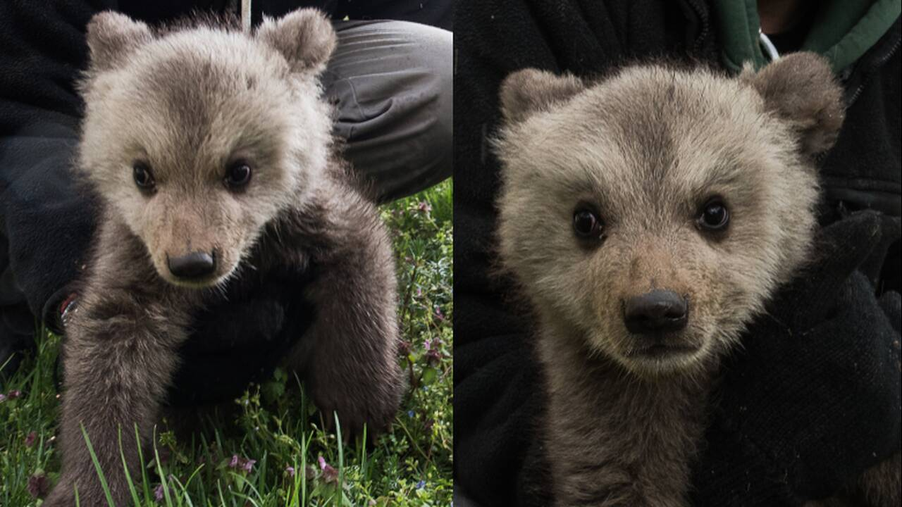 Μπράντλεϊ και… Κούπερ: Τα δύο νέα αρκουδάκια που υιοθέτησε ο«Αρκτούρος»