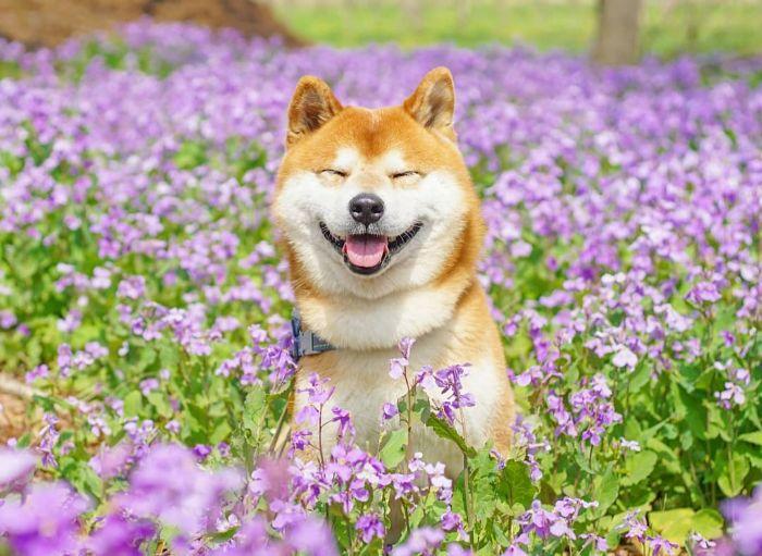 Ένα Shiba Inu ανάμεσα σε λουλούδια που θα σου φτιάξει τη διάθεση!(Photos)