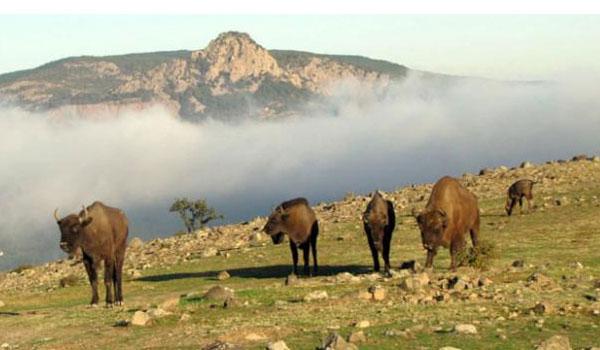 Οι βίσονες επιστρέφουν στη Ροδόπη μετά από… 800χρόνια