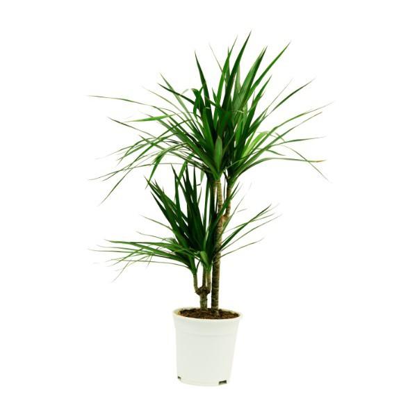 Δράκαινα φυτο : τι πρεπει ναξερω…