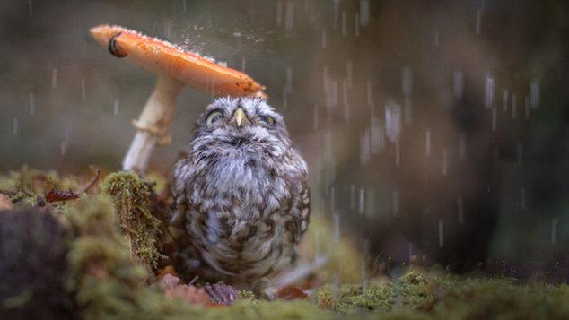 Η πιο αστεία φωτογραφία του κόσμου: Μια κουκουβάγια χρησιμοποίησε ένα μανιτάρι σανυπόστεγο