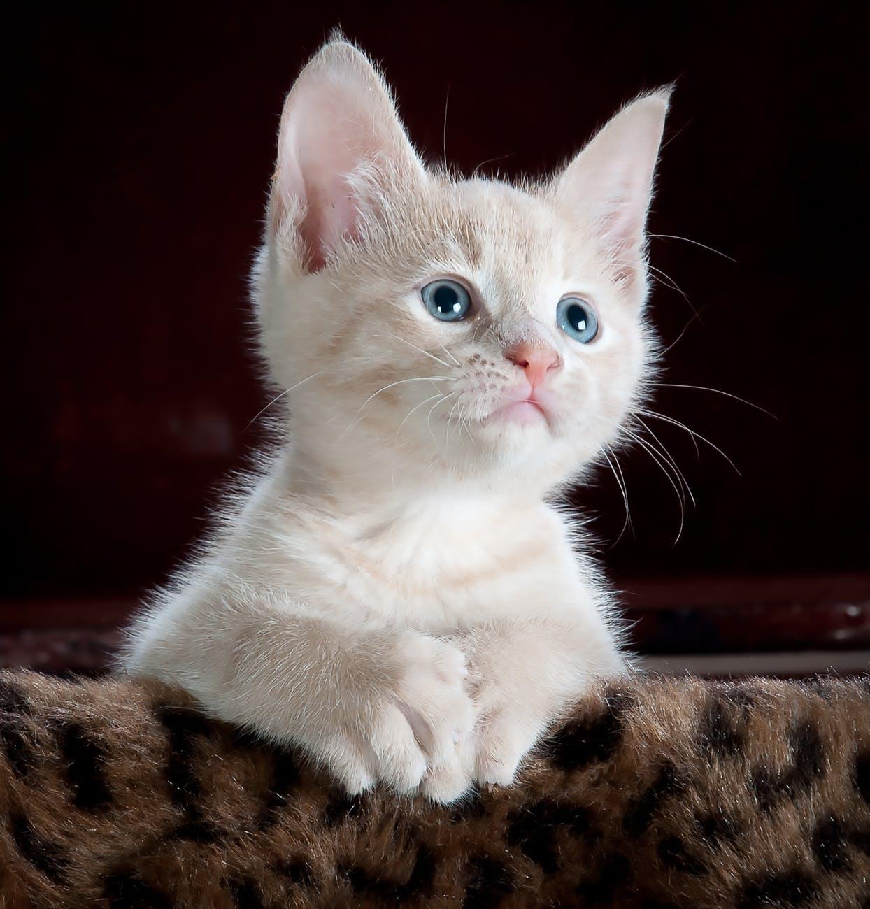 Έρευνα: Οι γάτες μπορεί να μολυνθούν και να μεταδώσουν τονκορωνοϊό