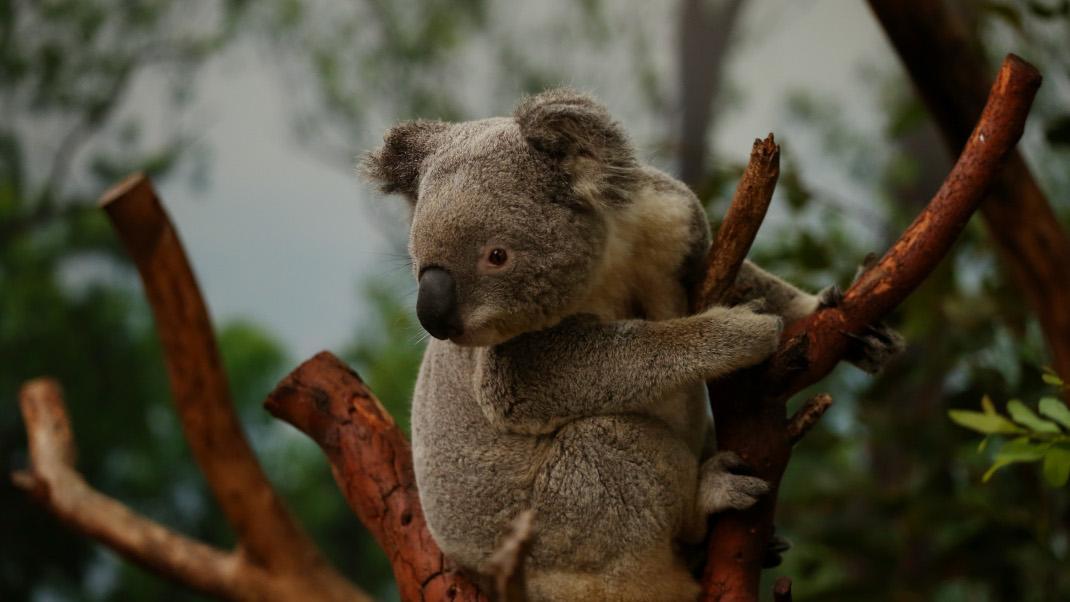 Έξι αξιαγάπητα κοάλα επιστρέφουν στο σπίτι τους, μετά τις καταστροφικές φωτιές στηνΑυστραλία