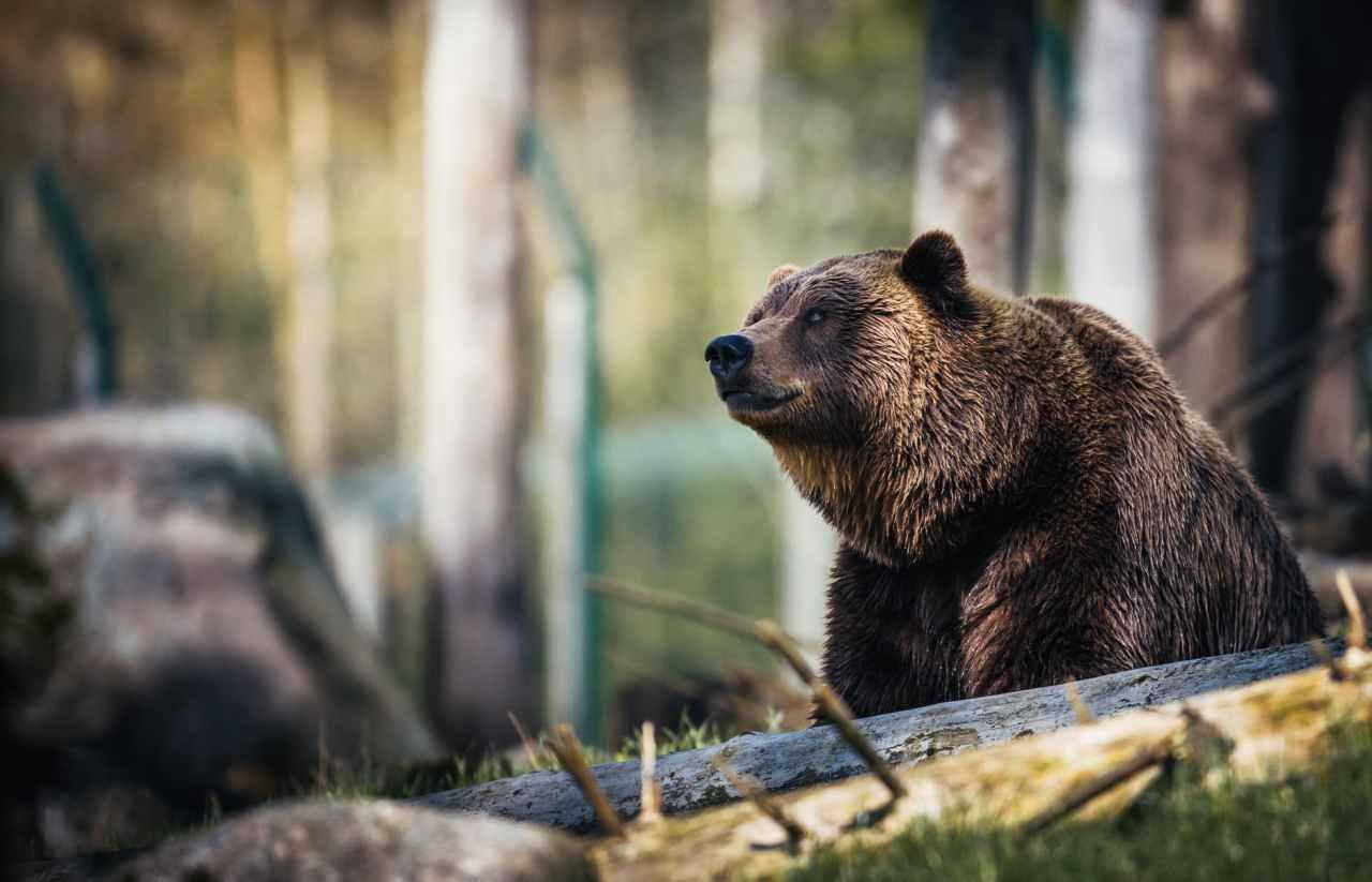 Με ποιο τρόπο πρέπει να αντιμετωπίσετε μια αρκούδα αν βρεθεί στο δρόμοσας
