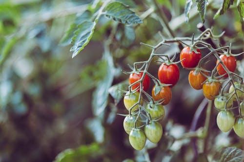 9 μυστικά για την καλλιέργεια τηςντομάτας
